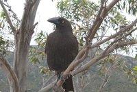 Friendly Crow