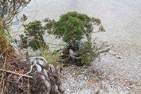 Bonsai at the edge of Dove Lake