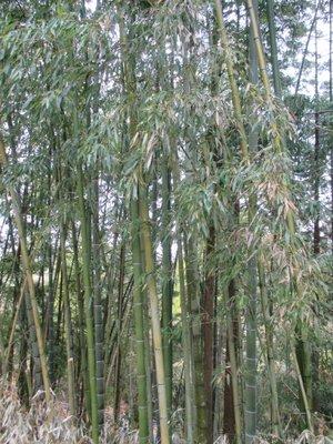 An actual bamboo grove along the Nakasendo highway