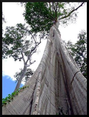 anicent_trees.jpg