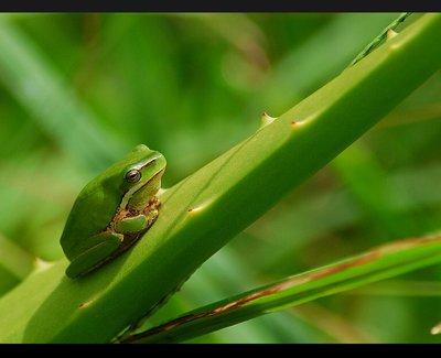 dwarf_tree_frog.jpg