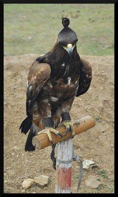 hunting_eagle.jpg