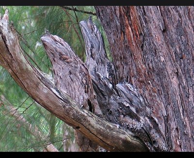 marbled_frogmouth.jpg