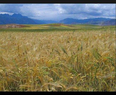 peru_wheat.jpg