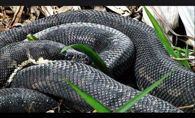 sardu_snake.jpg