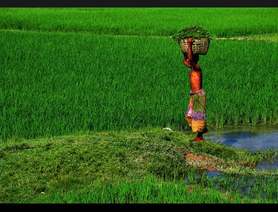 sylhet_rice_fields.jpg