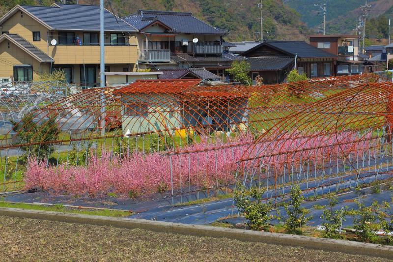 large_3__Imprisoned_baby_sakura.jpg