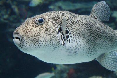Okinawa Churaumi Aquarium - A fish in the tank