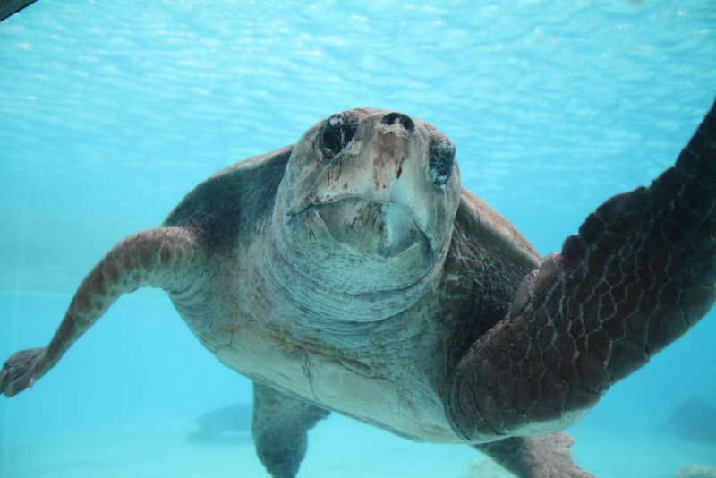 Okinawa Churaumi Aquarium  - Hello Turtle!