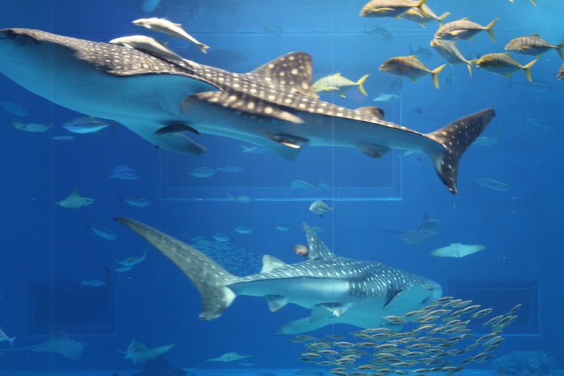 Okinawa Churaumi Aquarium - The Whale Sharks Rule