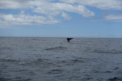 Whale tail - sperm whale diving back down into the deep