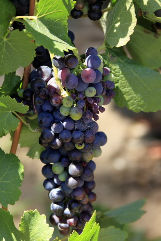 Barossa Valley Vineyard, Australia