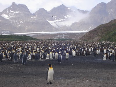 Even More King Penguins
