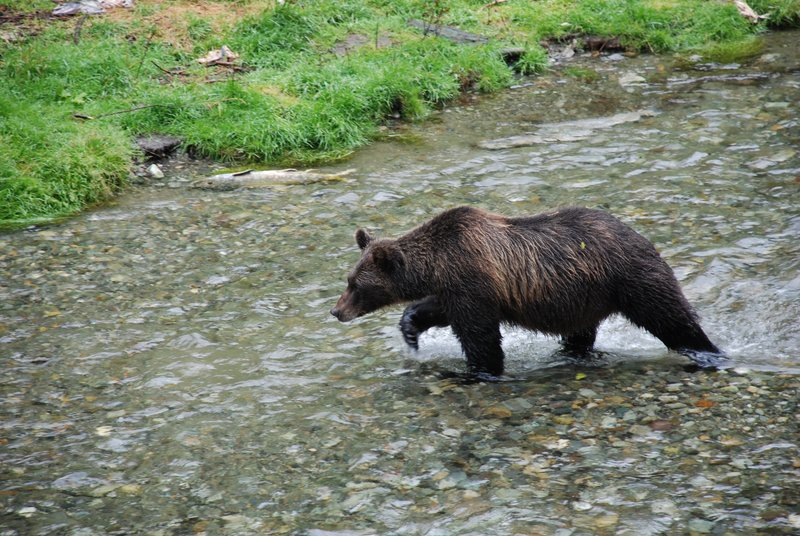 A Grizzly !