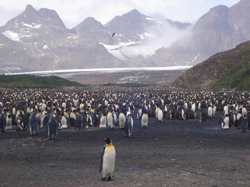Even More King Penguins