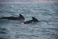 Long Finned Pilot Whale and Calf