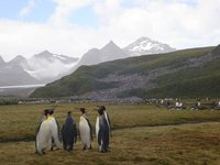 Lots and Lots of King Penguins