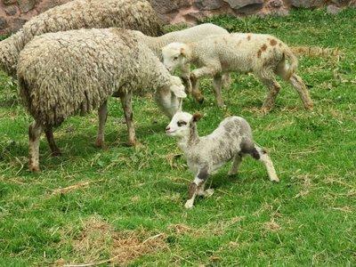 Sheep @ Raqchi