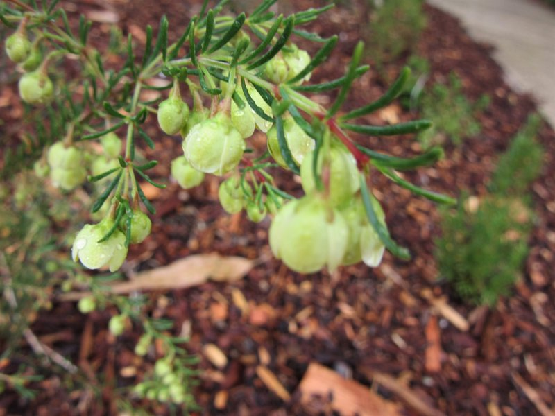 Boronia Flower