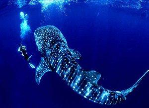 moz_whale shark1
