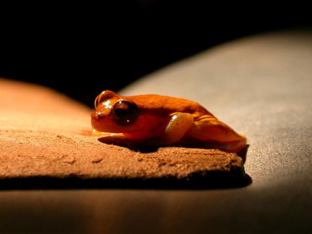 jungle_fluo orange frog