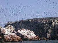 pisco_islas ballestas_birds
