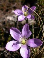 huaraz_flowers 2