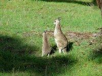Kangaroos near Clare