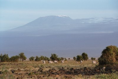 Zebras grazing belowe Mount Kilimanjaro