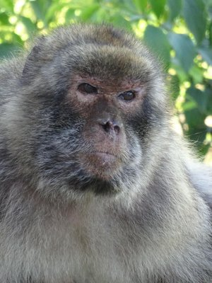 Barbary Macaque on The Rock, Gibraltar