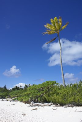 Lonely palmtree at Oeno atoll