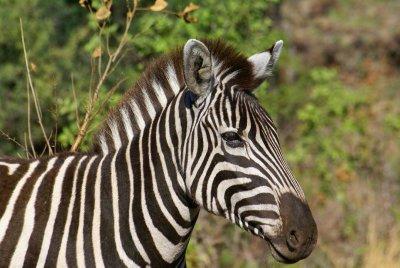Zebra ready for the photo in Pilanesberg Park