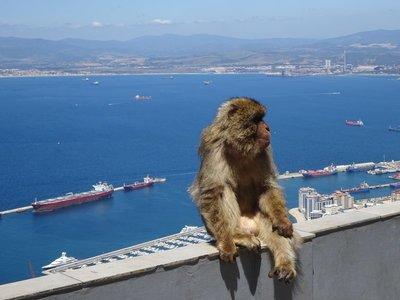 Gibraltar's Barbary Macaque