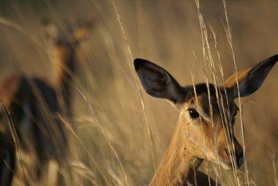 Pilanesberg Park Impala