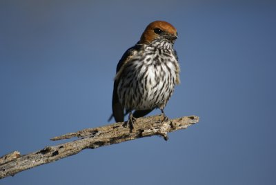 Beautiful bird in Pilanesberg Park