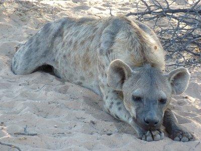 Spotted hyena, Kgalagadi park