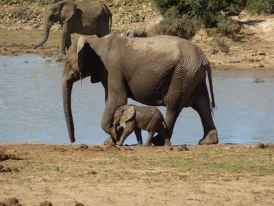 Elephant mother and her young, Addo