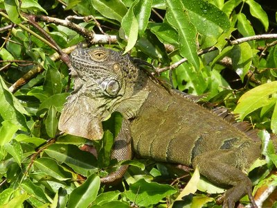 Green Iguana, Tortuguero National Park