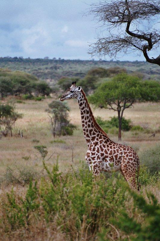 Giraffe in Tarangire NP