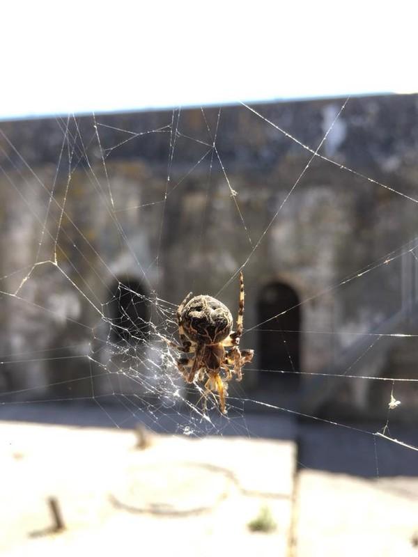 Spider in Fort Pampus