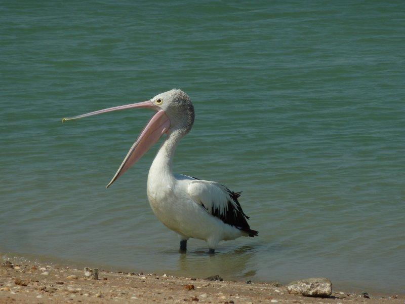 Pelican, Karumba