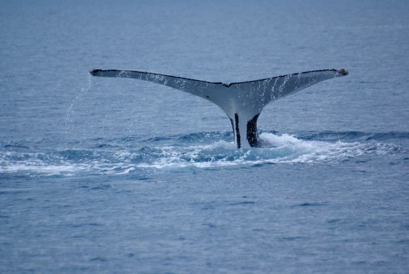 Humpback Whale, Hervey Bay, Queensland