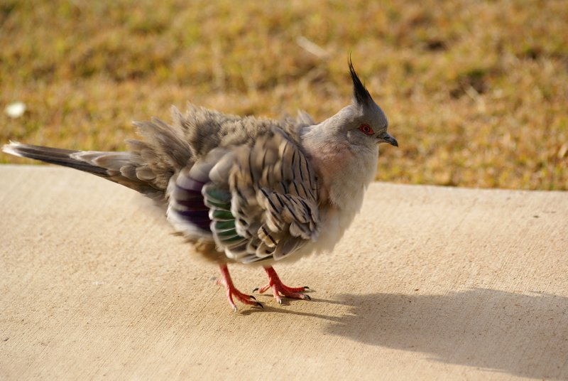 Colourful Dove, Longreach, Queensland