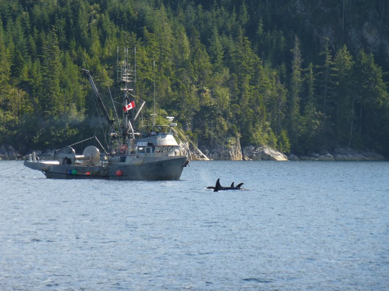 Orcas, Johnston Strait, Vancouver Island