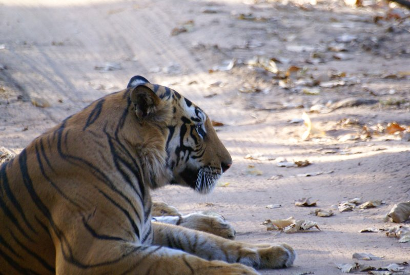 Tiger relaxing on the road in Bandhavgarh NP