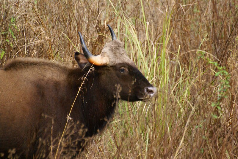 Gaur (Indian Bison), Kanha National Park