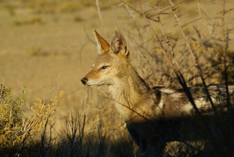 Beautiful Jackall, Kalahari desert