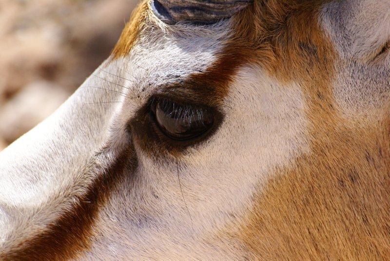 Springbok detail