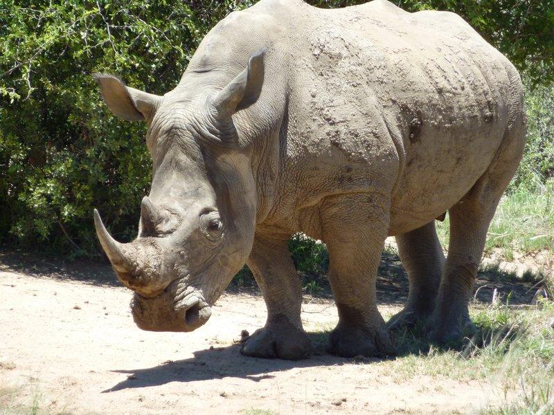 White Rhino, Pilanesberg Game Reserve