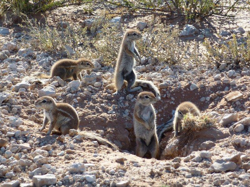 Ground Squirrels, Kgalagadi
